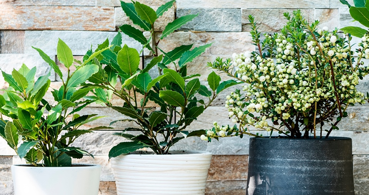 Tuinplant van de Maand oktober: Laurier