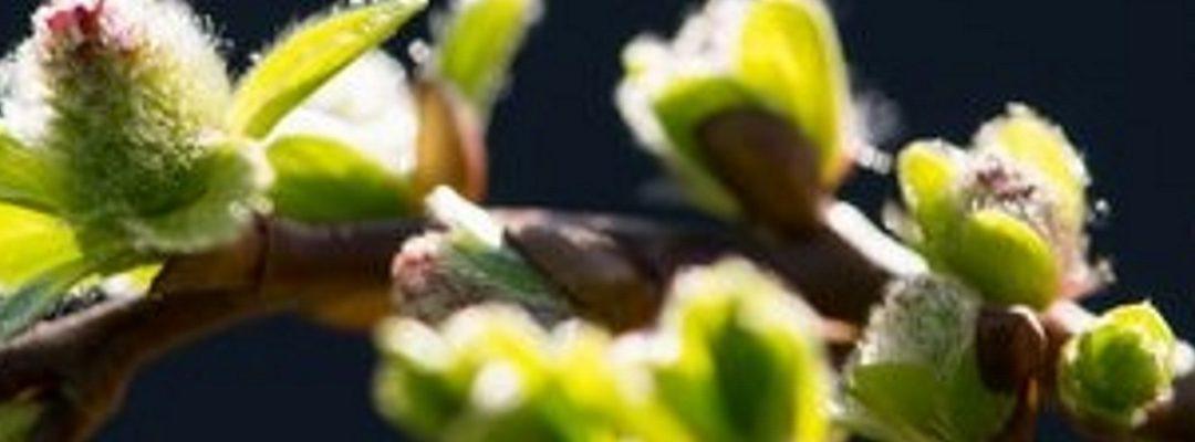 Tuinplant van de Maand februari: Salix